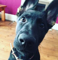 Hey what up? #collarbuddies #molly #twitter_gsd #germanshepherds #germanshepherdsofinstagram #germanshepherddog #gsdlove #gsdofinstagram #gsd #forevergermanshep #gsdpage #german_shepherds_are_awesome #germanshepherd101 #germanshepherdsonline #gsd4life #gsdphotoes #gsdcloudy #instagermanshepherd #gsduniverse