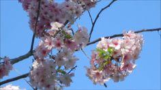 View Cherry Blossoms at Schabarum Regional Park - Xem Hoa Anh Đào tại Cô...