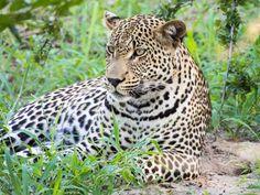 Umlani Bushcamp review: leopard