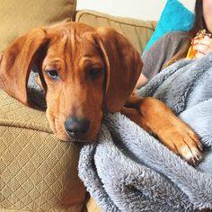 adorable redbone coonhound puppy