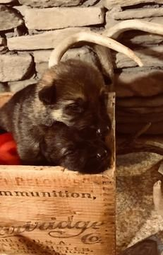 Litter Of 9 German Shepherd Dog Puppies For Sale In Binghamton Ny