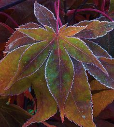 leaves etched with frost