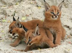 """Meet caracal, one of the most gorgeous wild cats in the world! Caracal, the medium-sized desert cat, is the largest of Africa's """"small cats."""" Its name comes from Turkish word """"karakulak"""", which means """"black ear"""". Caracals are fairly good with humans Caracal Kittens, Lynx Kitten, Cats And Kittens, Baby Caracal, Big Cats, Caracal Caracal, Margay Cat, Kittens Meowing, Kitty Cats"""