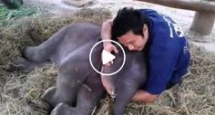 Encantador Elefante De 3 Meses Confia Tanto No Seu Tratador Que Adormece No Seu Colo