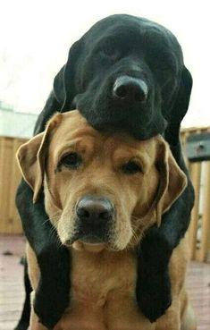 Awwww! Labrador Retriever friendship, ain't it grand?! http://doggiewoof.com/labrador-retriever/ #labradorretriever