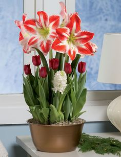 Blooming red and white bulb bouquet brightens the holidays. Eight bulbs planted in a decorative metal cachepot. Garden Bulbs, Planting Bulbs, Planting Flowers, Natural Christmas Ornaments, Christmas Flowers, Bulb Flowers, Flower Pots, Garden Tool Organization, Bulb Vase