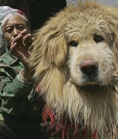 Tibetan Mastiff. It's so big and fluffy! <3