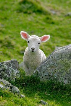 This lamb looks just like my lambs =)