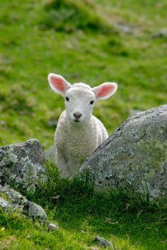 This lamb looks just like my lambs =)