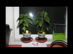 How to Make Peppermint Essential Oil - NaturalNews.tv