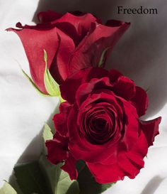 RP: Red Rose Freedom - Shorter Life Span Than Forever Young, But A Bit More Open Up.