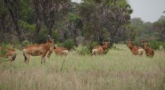 The #LichtensteinsHartebeests are common in #Saadani National Park and are usually in herds of up to 25 animals