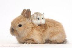 Roborovski Hamster riding on the back of cute baby bunny photo ...