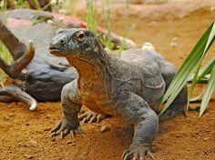 At London's Chester Zoo, a female Komodo dragon named Flora had the world's first documented virgin births of this lizard species in 2006. The reproductive process, called parthenogenesis, occurs when an unfertilized egg develops to maturity. In May 2006, Flora laid 25 eggs, including 11 that were viable. Zookeepers knew something strange was going on, because Flora had never come in contact with a male Komodo dragon while at the Chester Zoo...