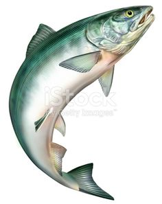 Find Salmon Jumping stock images in HD and millions of other royalty-free stock photos, illustrations and vectors in the Shutterstock collection. Salmon Drawing, Fish Clipart, Cat Anatomy, Sea Life Art, Scenery Pictures, Fish Drawings, China Painting, Fish Art, Creature Design