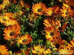 unjardinsostenible.com: Dimorfoteca osteospermun (ssp) Margaritas del Cabo Annual Plants, Woodlice, Soil Type, Irrigation, Margaritas