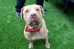 CAESAR- A1113332 - - Manhattan  TO BE DESTROYED 06/01/17  05/31/17: ****CAN BE PUBLICLY ADOPTED****A volunteer writes: Don't tell Ceasar he isn't the best looking dog on the planet, as he simply won't believe you. Rocking a bow tie, thrilled to be hanging out for pets and cuddles, and even more thrilled when a squeaky toy is tossed, Ceasar runs after the toy, tail wagging like a stallion! Bouncing around the pen, toy in mouth and having the best time makin