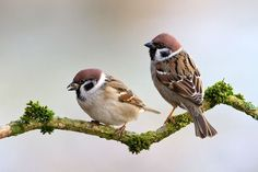 Pardal xarrec - Gorrión molinero - Passer montanus - Passer montanus - Eurasian Tree Sparrow