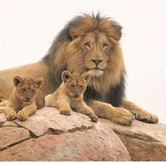 The tears of a lion. Cecil the Lion with cubs. Animals And Pets, Baby Animals, Cute Animals, Beautiful Lion, Animals Beautiful, Lion Pictures, Animal Pictures, Big Cats, Cute Cats