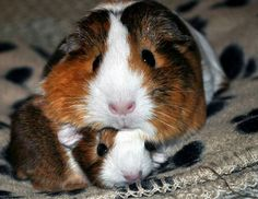What Is The Best Guinea Pig Bedding? Photo by picto:graphic Guinea pig owners routinely utilize wood or paper types of shavings as the bedding for their pets. Hamsters, Rodents, Baby Guinea Pigs, Guinea Pig Care, Baby Pigs, Cute Baby Animals, Funny Animals, Farm Animals, Pig Pics