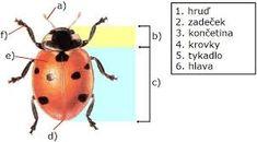 vývoj berušky – Vyhledávání Google Insects, Bee, Google, Honey Bees, Bees