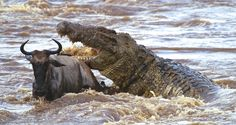 Nile Crocodile Attack Wildebeest
