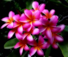 Frangipani - stunning and absolutely gorgeous colour.