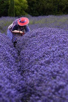 Red Hat Lady picking lavender at Purple Haze Lavender Farm, Sequim, Washington. Sequim is known as the Lavender Capitol of North America. It is because of sun, soil and lack of rain. The weekend in July is Lavender Weekend. You can find over 100 varie
