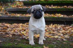 awww, cute baby pug