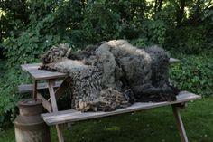 wol van de Blauwe Texelaar #ruwewol #purewol #onbewerktewol #schaapswol #schapenwol #Purewol