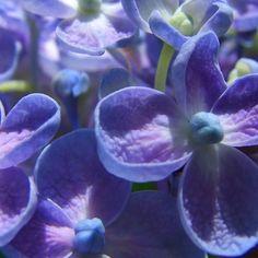 ~~ Bubble Blue Hydrangea ~~