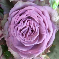 Who can guess the name of this beautiful lavender rose??? 💜💜💜 #florabundanceinc #cagrown #happysunday #lavenderrosesfordays #passionateaboutflowers