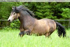 Connemara stallion Rockfield Scarface Mini Pony, Connemara, Ponies, Ireland, Saints, The Incredibles, Animals, Animales, Animaux