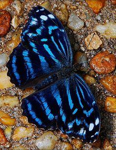 Myscelia Cyraniris Butterfly
