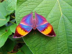 Rainbow butterfly. (Indian Leafwing)