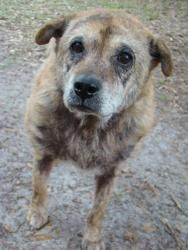 """ANGEL ~ a 10 year old  Retriever-mix at Noah's Arks Rescue, in Hilton Head Island, SC.   """"A beautiful,sweet girl, ANGEL  is one of our beloved seniors and we are looking for the perfect home that just gives her love, good care and a nice place to rest her tired head. Angel gets along with people, children and all animals but we think the best place to spend the rest of her life on earth should be rather on the quiet side. She easy feels overwhelmed with to much activity and noise around…"""