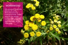 #Wormwood, Ancient ‪#‎miraculous‬ ‪#‎medicinal‬ ‪#‎herb‬, heals the body, ward off evil spirits and negative thoughts