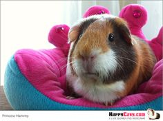 Princess Hammy from http://www.happycavy.com/guinea-pig-princess-chair-photos/