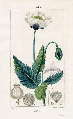 White Garden Poppy, Turpin Pierre Chaumeton Flore Medicale Prints 1814