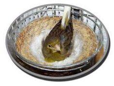 Reproducción canarios, conoce un poco sobre la cría con canarios una afición que cada vez cuenta con más admiradores.
