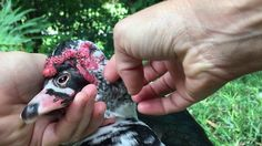 Domino the Muscovy Duck loving his massage