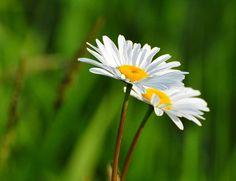 Oregon daisies