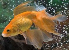 Veiltails can eat all kinds of food, but it is important to feed them nutritious foods such as fruits and vegetables. They can reach about 4-6 inches if given the right care and if you keep them in a welol maintained goldfish aquarium.