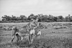 BW African wildlife image of a lioness and sub-adult out hunting