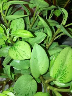 Peperomia Pixie Lime Refreshing Light Green And A Hint