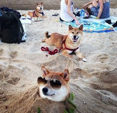 These Shiba Inu / Doges know how to kick back and have some Shibe fun! Shiba Inu, Cute Puppies, Cute Dogs, Dogs And Puppies, Doggies, Animals And Pets, Funny Animals, Cute Animals, Japanese Dogs