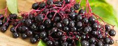 Sambuco, elisir di benessere - La natura a servizio dell'uomo. Il sambuco combatte l'influenza e aiuta la dieta