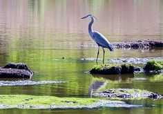 A Great Blue Heron standing in a pond looking for a meal.  This image was captured at the pond in Fort Smallwood Park - Pasadena, Maryland.