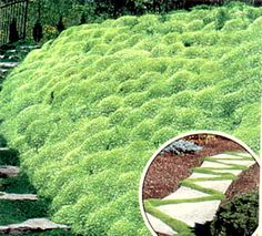 """""""IRISH MOSS"""" IS A BEAUTIFUL, EMERALD GREEN, CREEPING GROUND COVER THAT IS SIMPLY STUNNING! THE EVERGREEN FOLIAGE GROWS ONLY 1 TO 2 INCHES TALL,"""