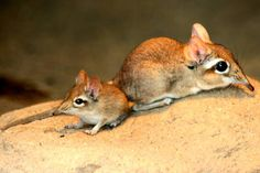 Mother and baby Rufous Elephant-shrews or Rufous Sengi (Elephantulus rufescens)